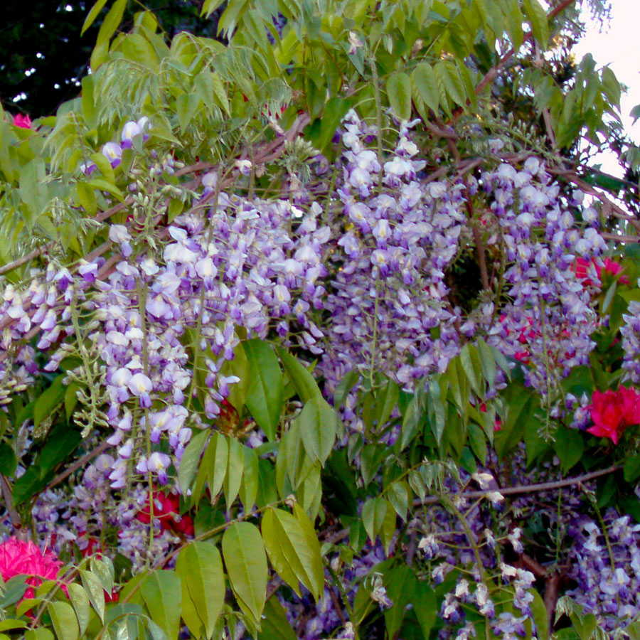 Wisteria Blue Moon From Wayside Gardens