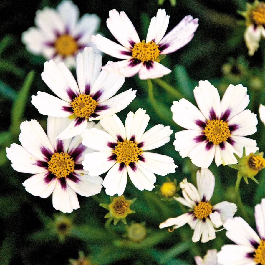 Coreopsis Big Bang Star Cluster From Wayside Gardens