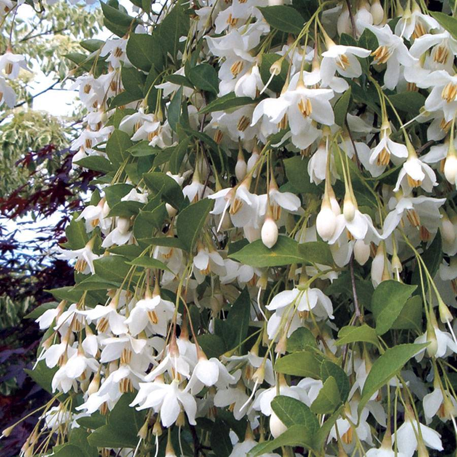 Styrax Fragrant Fountain At Wayside Gardens