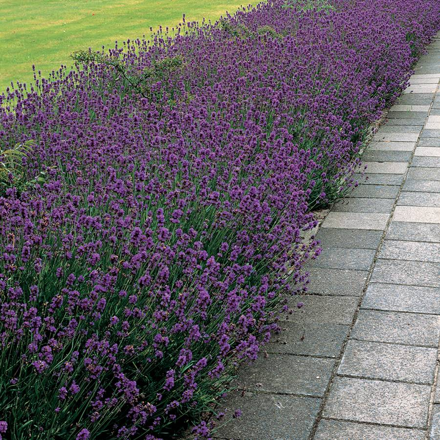When to Prune Lavender  Grow Beautifully