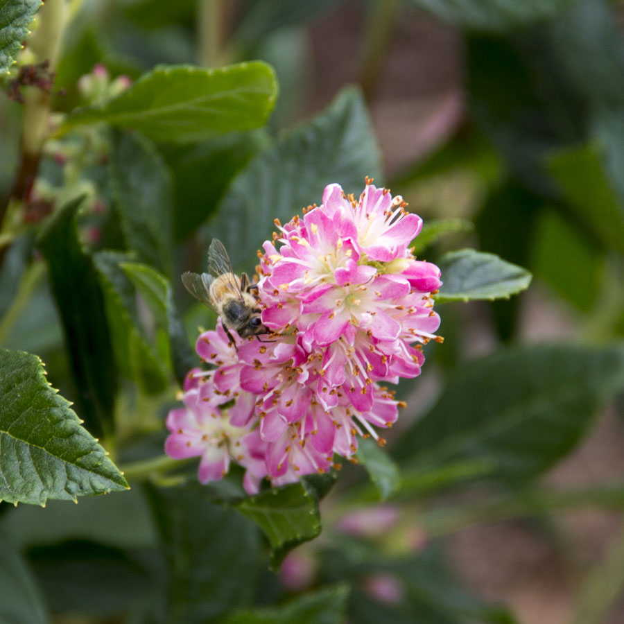 Lady Of The Wayside >> Clethra 'Ruby Spice' at Wayside Gardens