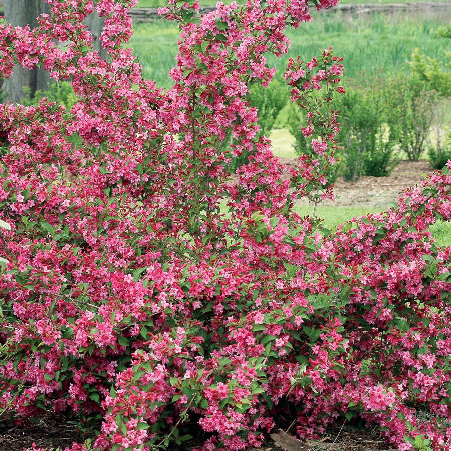 Weigela Sonic Bloom Pink At Wayside Gardens