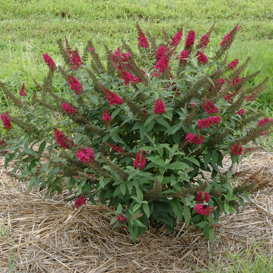 Butterfly Bush Hedge