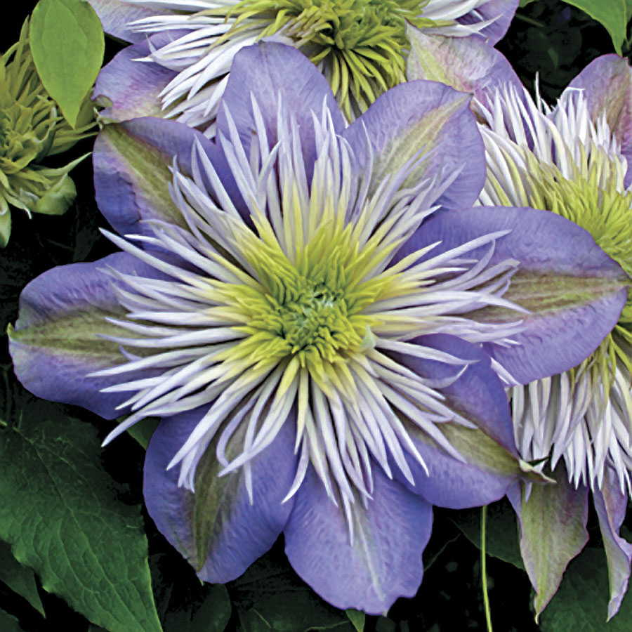 Nice Clematis Crystal Fountain ...