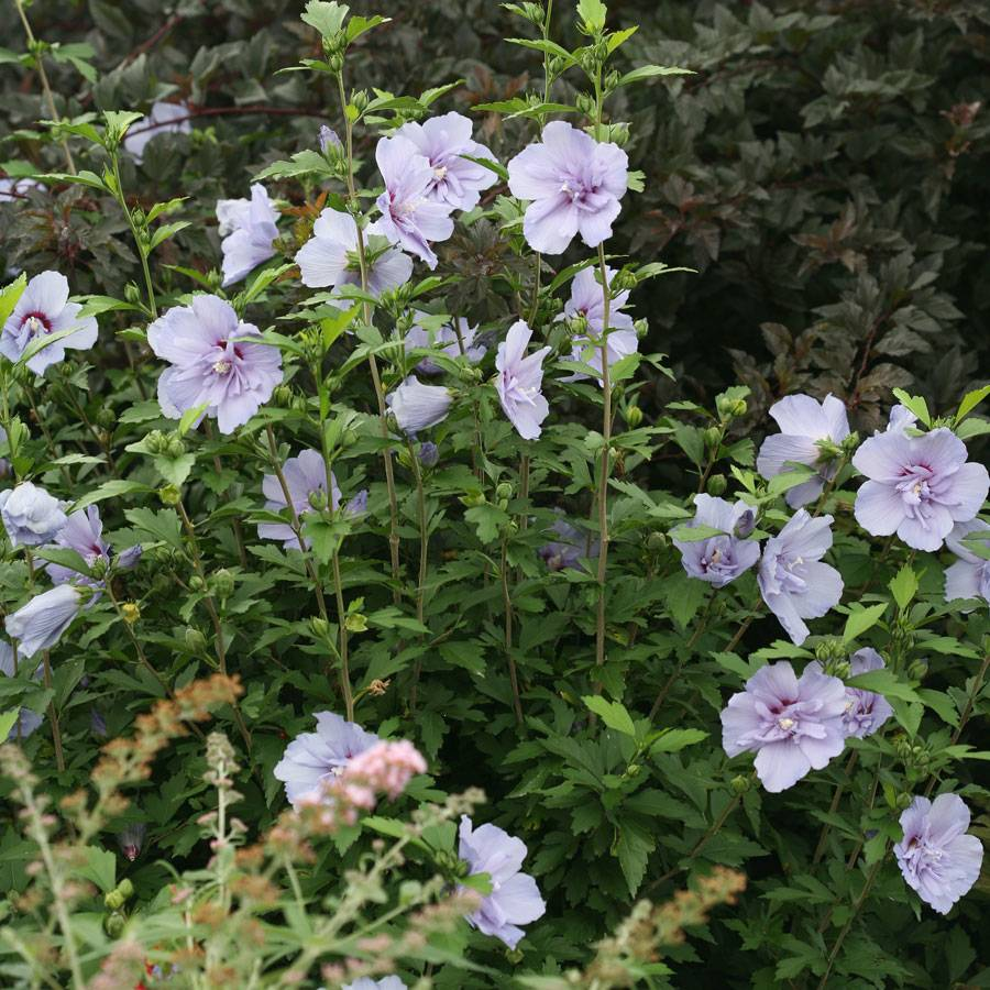 Lady Of The Wayside >> Hibiscus Blue Chiffon™ from Wayside Gardens