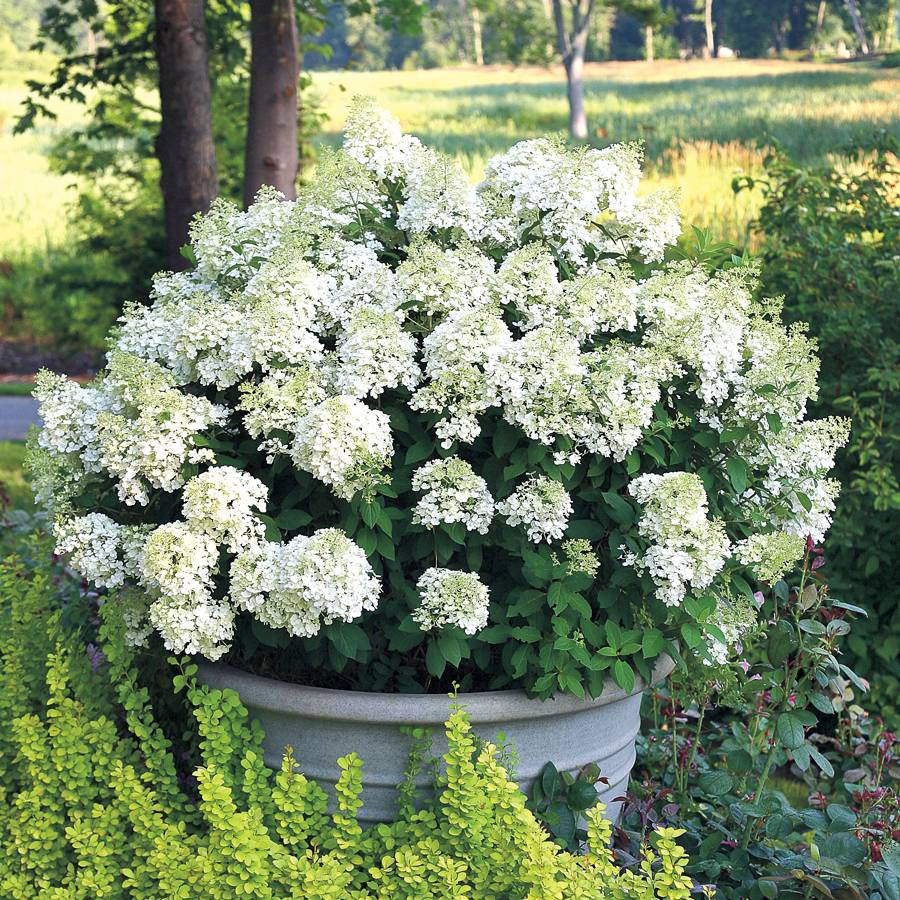 hydrangea bobo from wayside gardens. Black Bedroom Furniture Sets. Home Design Ideas