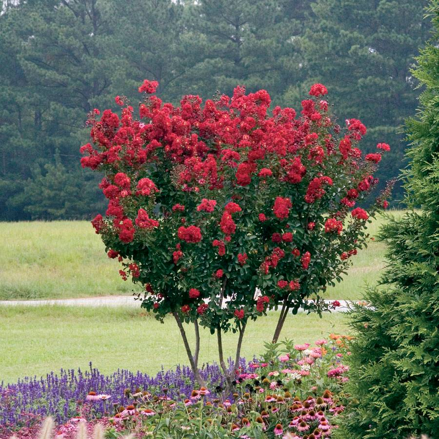 lagerstroemia red rocket at wayside gardens. Black Bedroom Furniture Sets. Home Design Ideas
