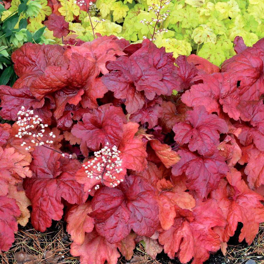 heuchera 39 fire chief 39 at wayside gardens. Black Bedroom Furniture Sets. Home Design Ideas