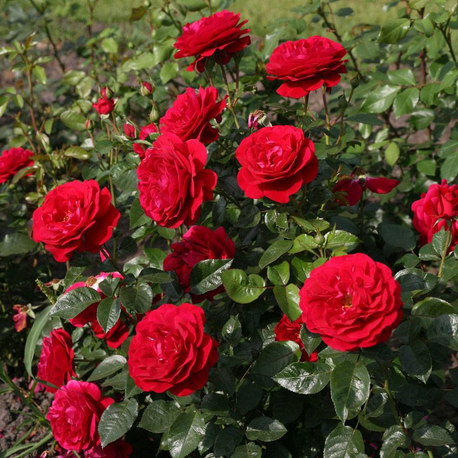 Roses In Garden: Bordeaux® Citiscape® Floribunda Rose